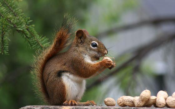 Photo free animals, nuts, squirrel