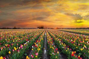 Красивое поле тюльпанов