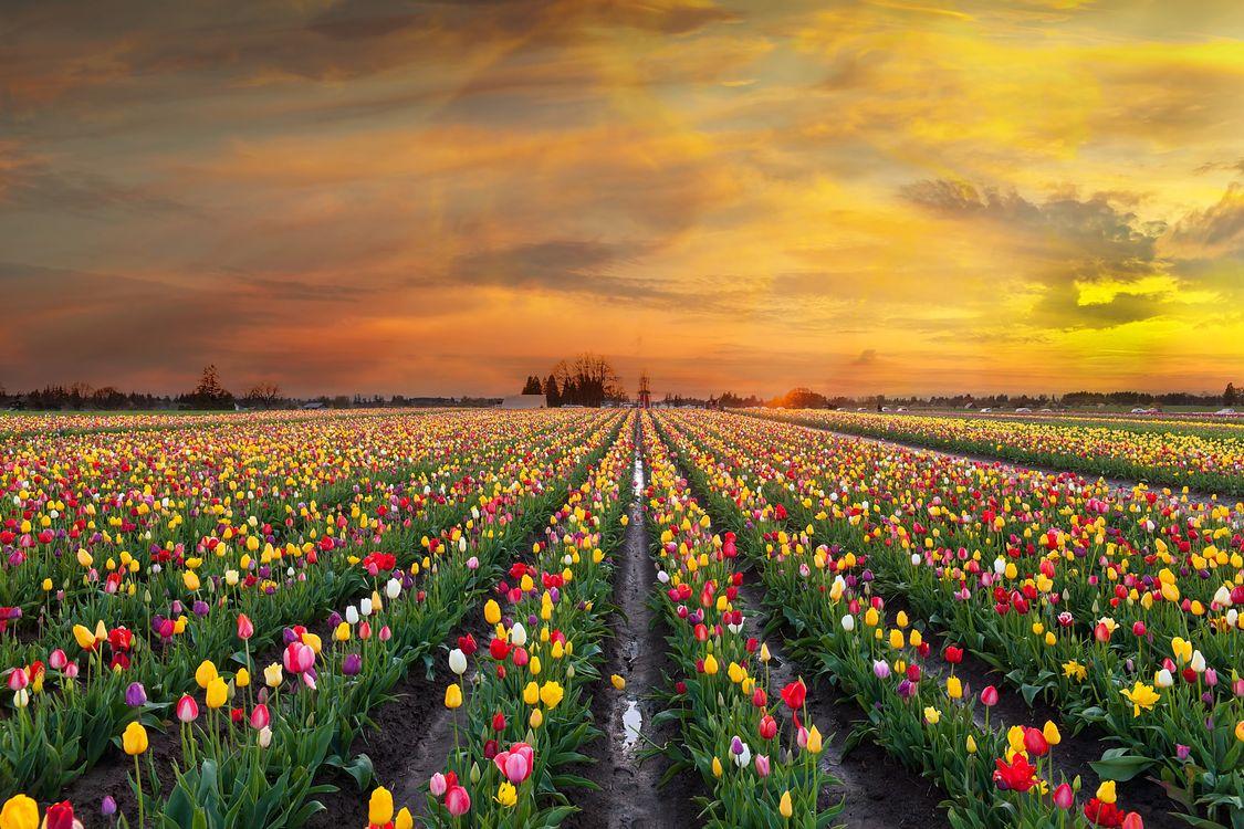 Красивое поле тюльпанов · бесплатное фото