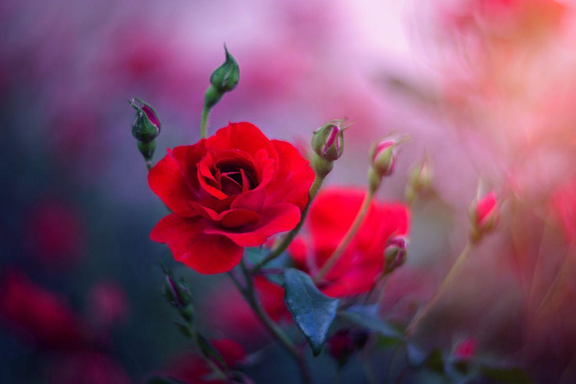 Бутоны красных роз · бесплатное фото