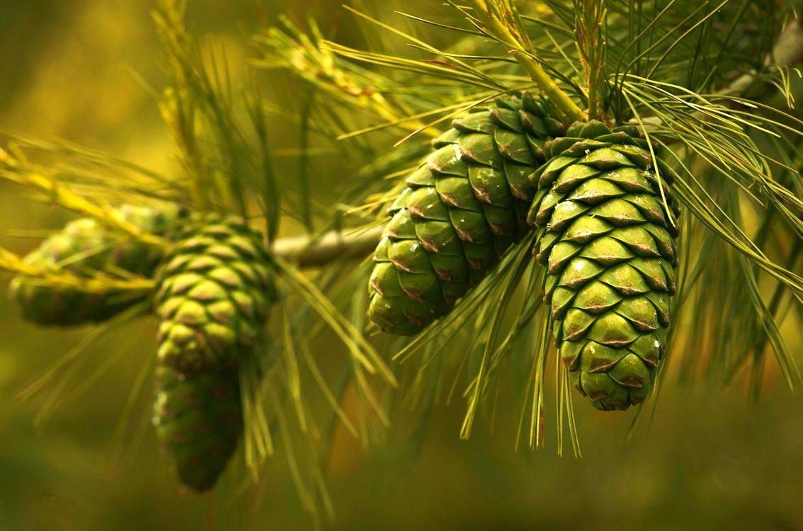 Фото бесплатно сосна, ветка, шишки, иголки, природа, природа
