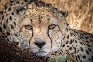 Бесплатные фото Мужской гепард Acinonyx jubatus,хищник,животное,морда,взгляд