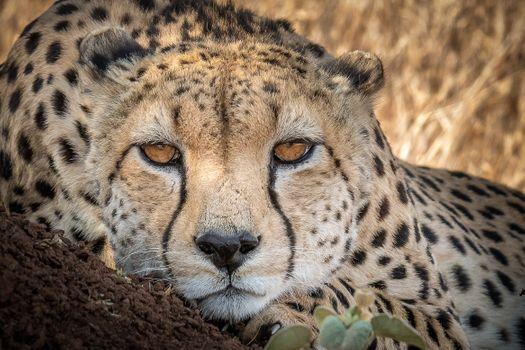 Фото бесплатно Мужской гепард Acinonyx jubatus, хищник, животное