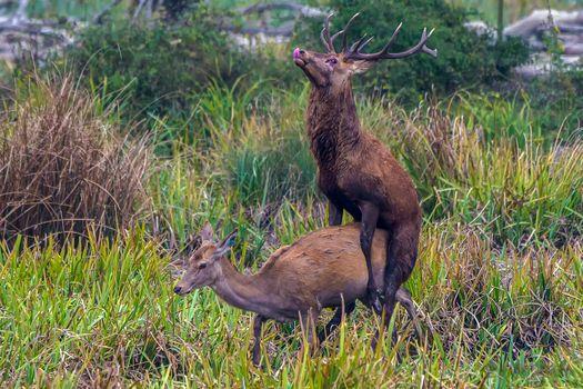 Photo free Deer, mating season, the animals