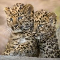 К году леопарда