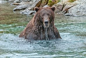 Photo free Brown bear, used bear, a carnivorous mammal