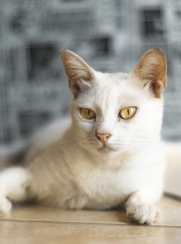 Photo free white cat, sight, lying