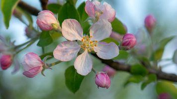 Фото бесплатно apple blossoms, цветение, цветы
