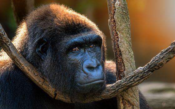 Photo free gorilla, view, primates