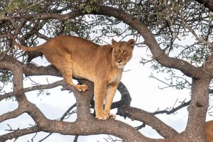 Бесплатные фото львица,лев,львы,хищник,животное