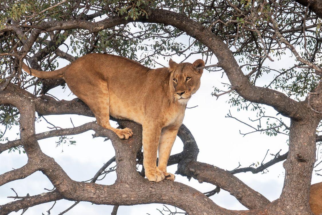 Обои хищник, лев, львы картинки на телефон