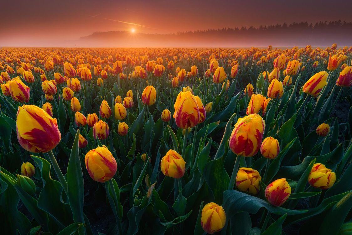 Фото бесплатно поле, тюльпаны, закат, флора, цветы, пейзаж, цветы
