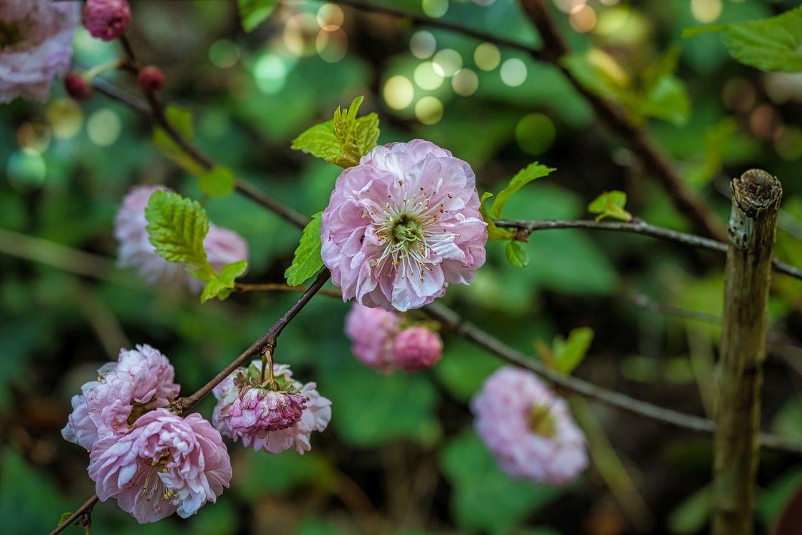 Фото бесплатно Cherryblossoms, зелень, распустившиеся цветы - на рабочий стол
