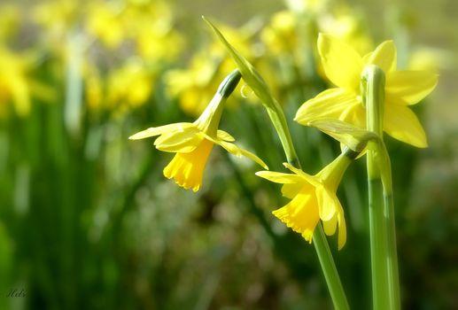 Фото бесплатно бледно-желтый, желтые цветы, размытые