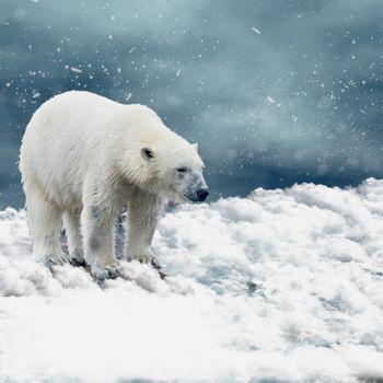 Заставки белый медведь, полярный медведь, хищник