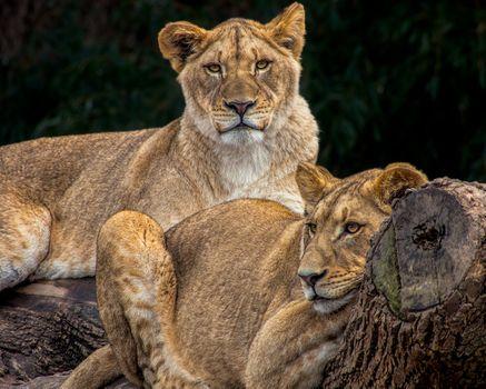 Отдыхающий прайд львиц