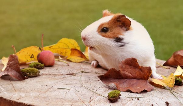 Морская свинка и осенние листья · бесплатное фото