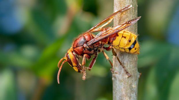 Фото бесплатно оса, шершень, Hornet