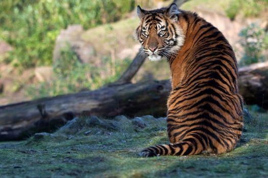 Тигр обернулся посмотреть кто его позвал · бесплатное фото