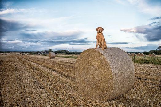 Фото бесплатно собака, сидеть, поле