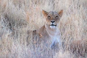Бесплатные фото львица,портрет,хищница,животное,взгляд