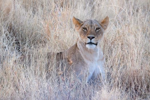 Photo free lioness, portrait, predator