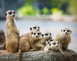 Отдыхающая семья сурикатов