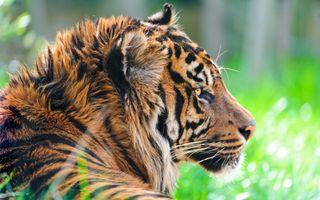 Заставки суматранский тигр, глядя, большие кошки