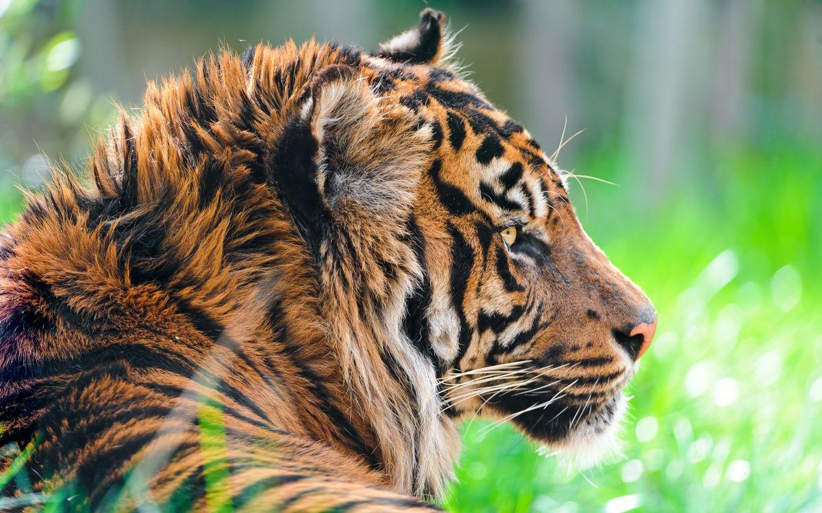 Фото бесплатно суматранский тигр, глядя, большие кошки - на рабочий стол