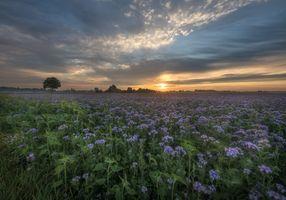 Фото бесплатно поле, природа, цветочное поле закат