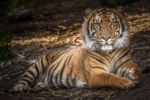 Тигр на отдыхе · бесплатное фото