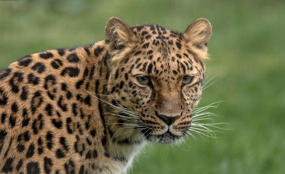 Заставки хищник, Amur leopard, большая кошка