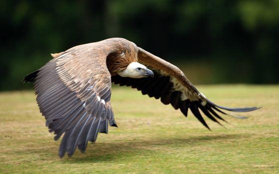 Фото бесплатно гриф, охота, птица