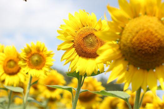 Photo free sunflowers, closeup, field