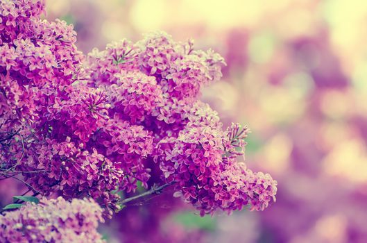 Photo free flowering branch, branch, lilac