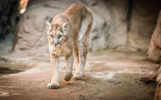 Photo free Mountain Lion, cougar, mountain lion