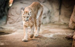 Фото бесплатно Mountain Lion, cougar, пума, кугуар, горный лев