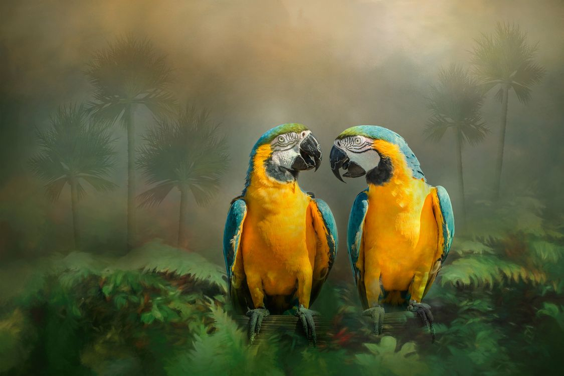 Обои Gold and Blue Macaw Pair, Золотая и голубая пара ара, попугай, ара, птицы на телефон | картинки птицы
