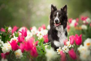 Собака в тюльпанах · бесплатное фото