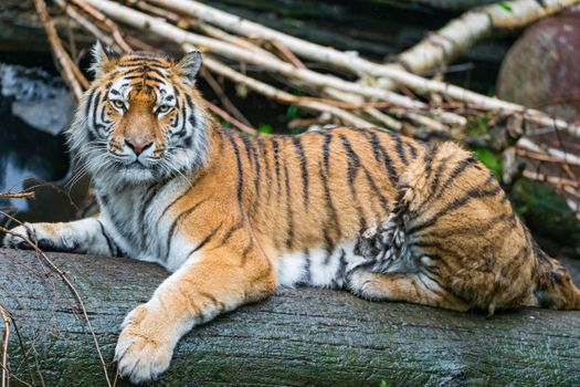 Заставки тигр тигры, лицо, животное