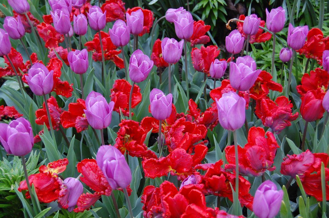 Цветущие тюльпаны · бесплатное фото