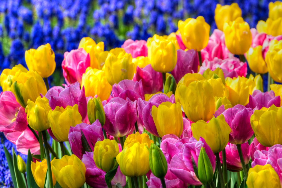 Разноцветные тюльпаны · бесплатное фото