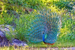 Фото бесплатно птица, перья, павлин