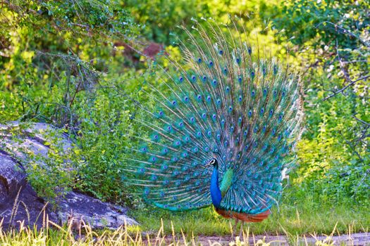 Photo free bird, feathers, peacock