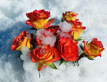 Заставки розы на снегу, цветы, розы