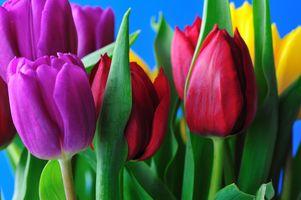 Фото бесплатно тюльпаны, тюльпан, цветы
