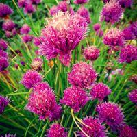 Фото бесплатно Клевер луговой, цветы, лук