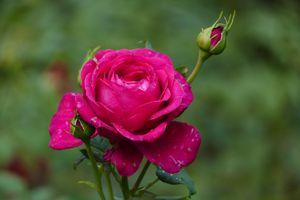 Фото бесплатно цветочные, цветение, розы