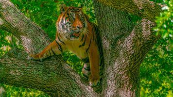 Фото бесплатно тигр, на дереве, хищник