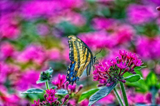 Заставки бабочка на цветке, Tiger Swallowtail, цветок